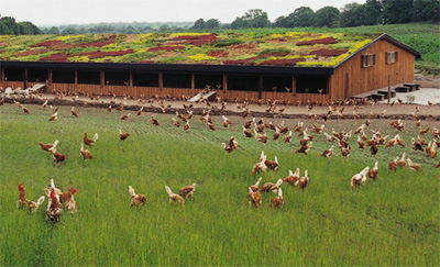 pasture-raised-chickens